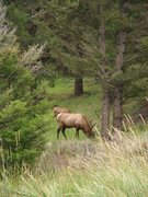 Rock Climbing Photo: Bull Elk, Yellowstone NP