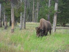 Rock Climbing Photo: American Bison, Yellowstone NP