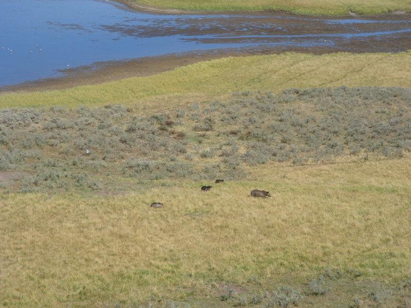 Mama griz and three cubs, Yellowstone NP