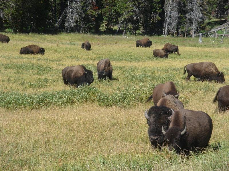 Rock Climbing Photo: Bison herd, Yellowstone NP