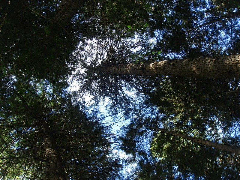 Forest canopy, Glacier NP