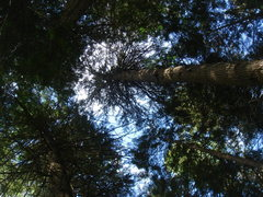 Rock Climbing Photo: Forest canopy, Glacier NP