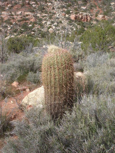 Barrel Cactus, Red Rock, NV