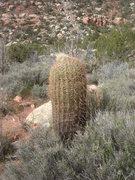 Rock Climbing Photo: Barrel Cactus, Red Rock, NV