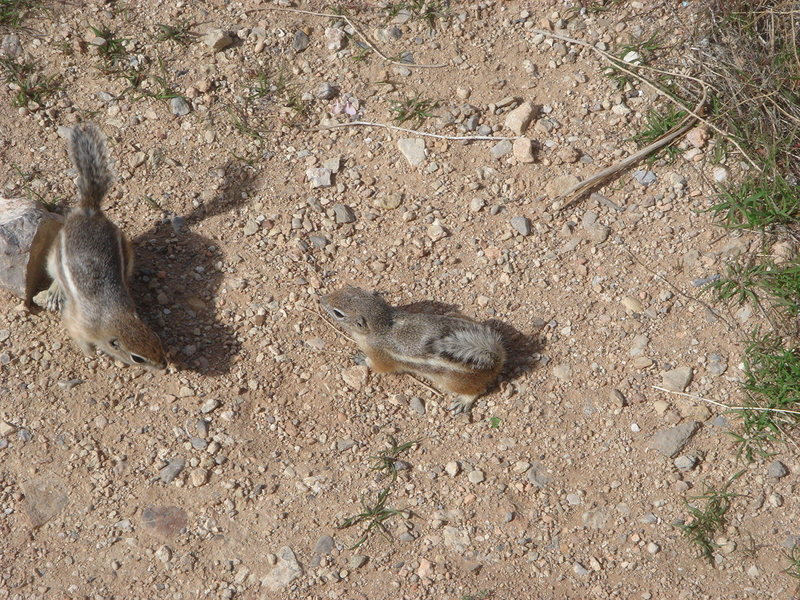 Rock Climbing Photo: Ground Squirrels, Red Rock, NV