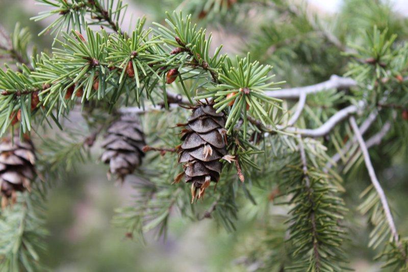 Rock Climbing Photo: pine