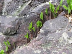 Rock Climbing Photo: Spring shoots