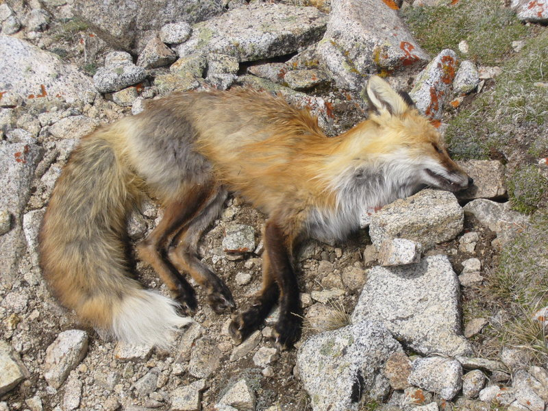 Scared the heck out of me when I almost stepped on this fox at 13,000'.  Unfortunately he was not alive.