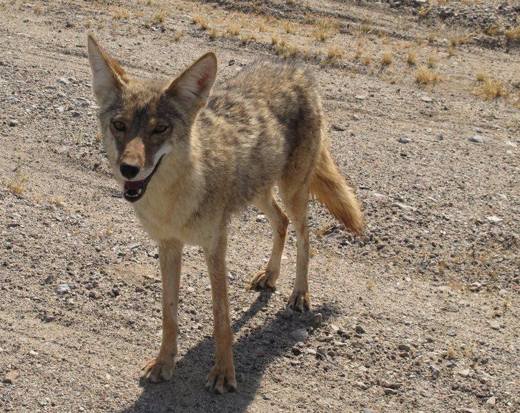 Rock Climbing Photo: A Coyote friend of mine.   April 2011