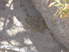 Wikipedia says the Black-Tailed Rattlesnake is an 'able climber' <br /> <br />Taken at the base of Lizard Head