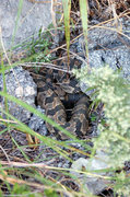Rock Climbing Photo: Rattle snake at the gap