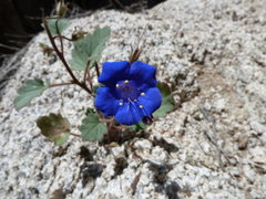 Rock Climbing Photo: Canterbury Bells (Phacelia campanularia) near RC R...