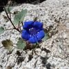 Canterbury Bells (Phacelia campanularia) near RC Rock, Joshua Tree NP