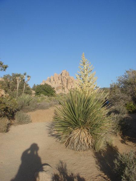Yucca in bloom, Joshua Tree NP.