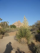 Rock Climbing Photo: Yucca in bloom, Joshua Tree NP.