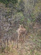Rock Climbing Photo: Young mule deer buck, Garden of the Gods, CO.