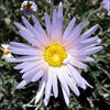 Mojave Aster.<br> Photo by Blitzo.