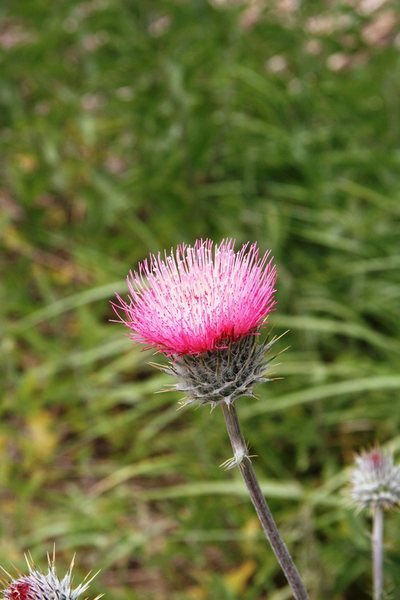 Anderson Thistle below the cliffs of Flavin Haven