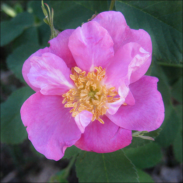 Wild Rose.<br> Photo by Blitzo.