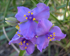 Rock Climbing Photo: Western Spiderwort. Photo by Blitzo.