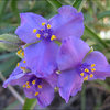 Western Spiderwort.<br> Photo by Blitzo.