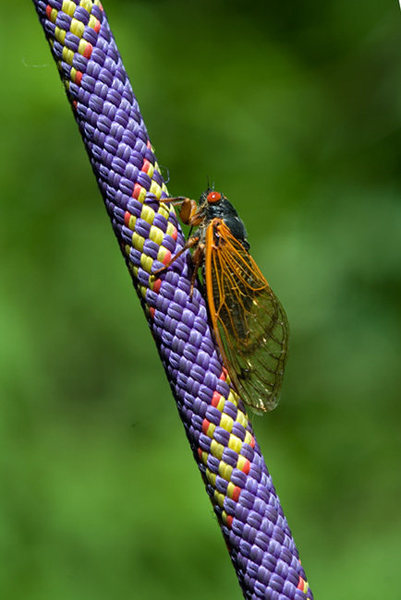 June 2011 -<br> The 13-year cicadas recently emerged and are buzzing across 15 different states, including Missouri.  In Columbia and surrounding areas, the group is absolutely riotous.