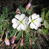 Nutall's Evening Primrose.<br> Photo by Blitzo.