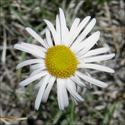 Rock Climbing Photo: Showy Fleabane. Photo by Blitzo.