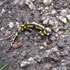 A salamander found in the Frankenjura