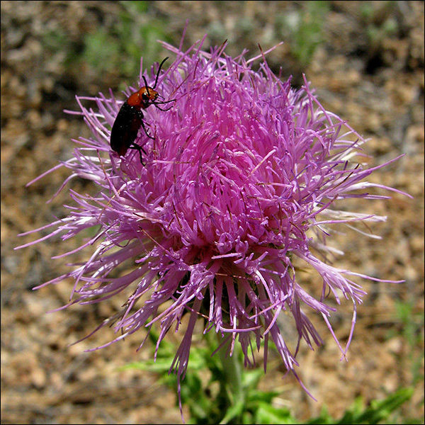 Thistle.<br> Photo by Blitzo.