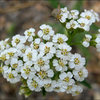Alpine Yarrow.<br> Photo by Blitzo.