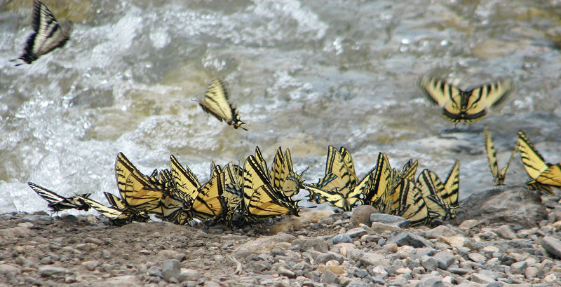 Butterflies drinking at the edge of the creek.