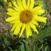Aspen Sunflower.<br> Photo by Blitzo.