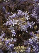 Rock Climbing Photo: Mojave Woolstar (Eriastrum densifolium mohavense)?...