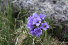 Rock Climbing Photo: alpine flowers
