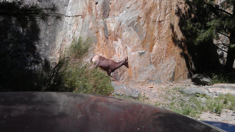 Goat at bottom of practice wall