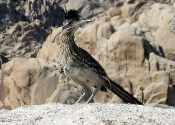 Roadrunner on top of Morbid Mound.<br> Photo by Blitzo.