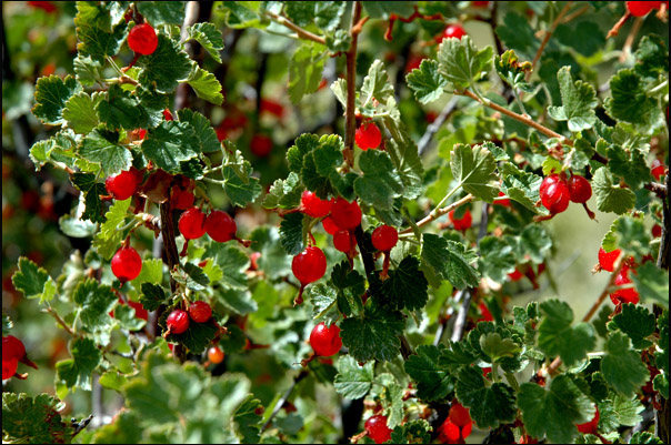Currants.<br> Photo by Blitzo.