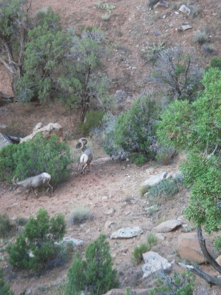 Bighorn sheep, Colorado National Monument.