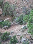 Rock Climbing Photo: Bighorn sheep, Colorado National Monument.