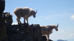 Rock Climbing Photo: These two goats hung out with us for a half hour.