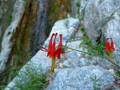 Rock Climbing Photo: Western Columbine (Aquilegia formosa), Frustration...