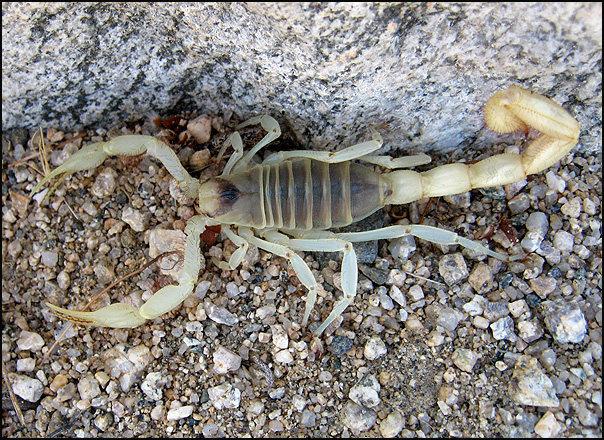 Rock Climbing Photo: Scorpion. Photo by Blitzo.