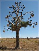 Rock Climbing Photo: Living dead tree. Photo by Blitzo.