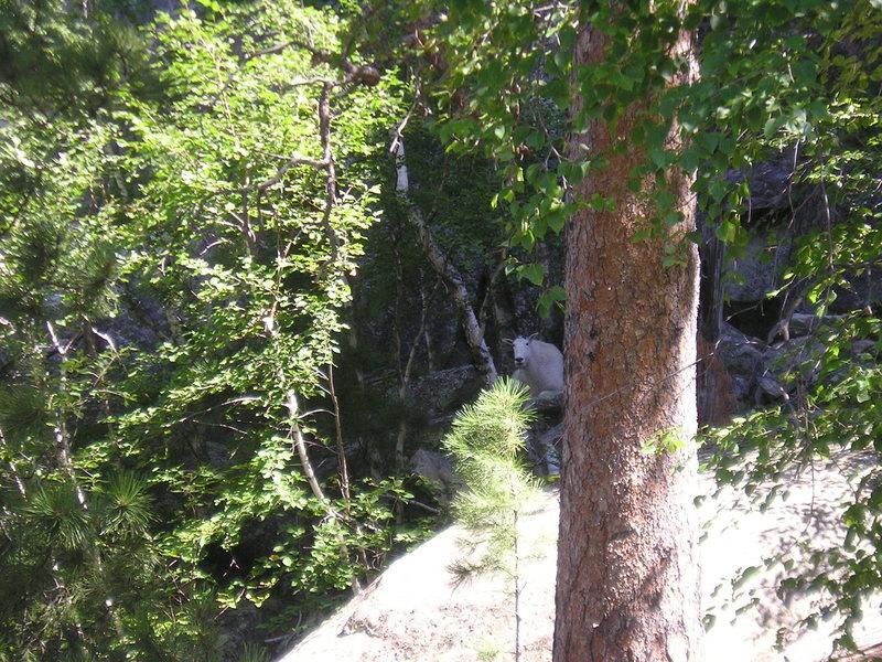 Rock Climbing Photo: mountain goat 8-13-11