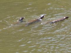 Rock Climbing Photo: River otters!