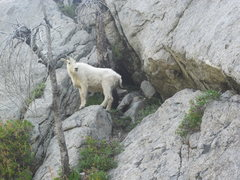 Rock Climbing Photo: The goat really wanted the route we were on, he st...
