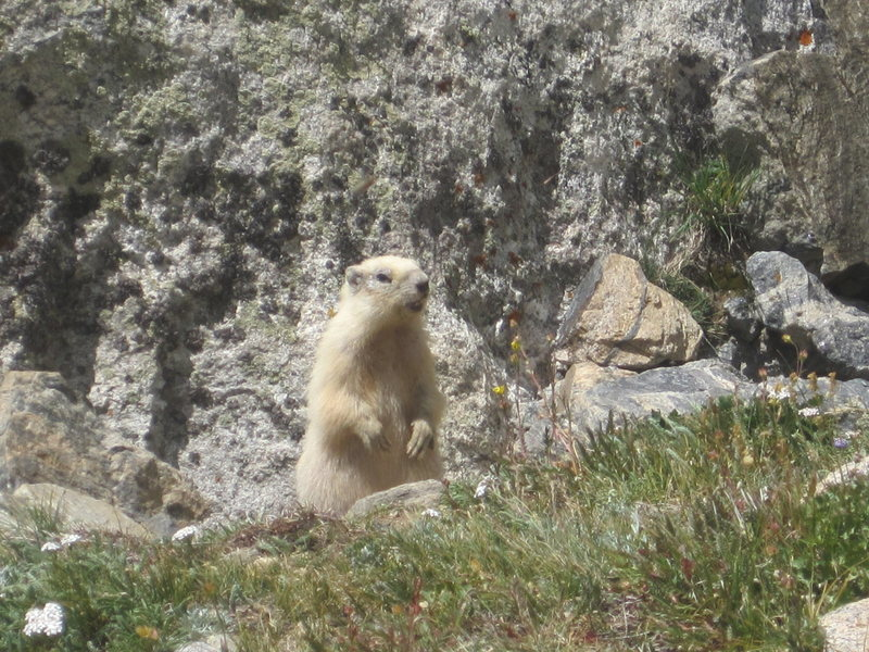 Rock Climbing Photo: Rare white Marmot .. Mt Massive