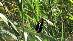 Rock Climbing Photo: An Adelpha bredowii (Bedrow's Sister) Butterfly fo...