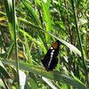 An <em>Adelpha bredowii</em> (Bedrow's Sister) Butterfly found near the Seep.